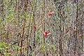 Northern cardinal (26575070358).jpg
