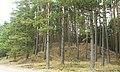 Notec Forest, Mialy, Debogora 08.JPG