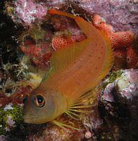 Notoclinops yaldwyni (Yaldwyns triplefin).jpg