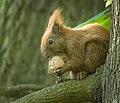 Nutty squirrel (41947232011).jpg