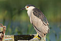 Nycticorax nycticorax at Las Gallinas Wildlife Ponds.jpg
