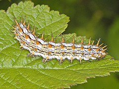 Nymphalidae - Brenthis ino.JPG
