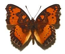 Eritrea-Wildlife-Nymphalidae - Precis pelarga