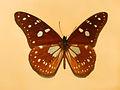 Nymphalidae - Tirumala formosa mercedonia.JPG