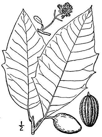 Nyssa aquatica - Nyssa aquatica foliage
