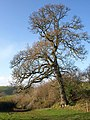 Oak tree, Millcombe Barn - geograph.org.uk - 1062549.jpg