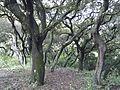 Oaks (6728147877).jpg