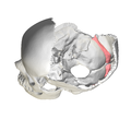 Occipital bone - Groove for transverse sinus3.png
