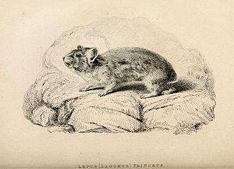 American pika - Lepus (Lagomys) princeps print from original scientific text.