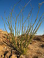 Ocotillo (Fouquieria splendens); Lost Palms Trail - 12525819213.jpg