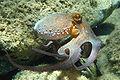 Octopus vulgaris2.jpg