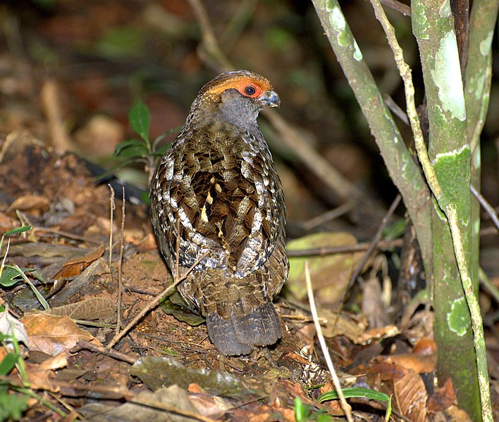 Ficheiro:Odontophorus capueira back.jpg