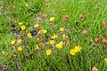 Oenothera stricta in Bay of Plenty Region 05.jpg