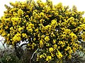 Of course it's gorse - geograph.org.uk - 748232.jpg
