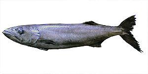 Oilfish - Image: Oilfish