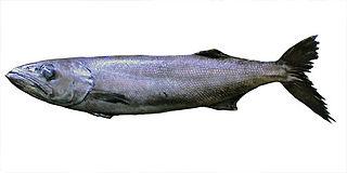 Oilfish species of fish