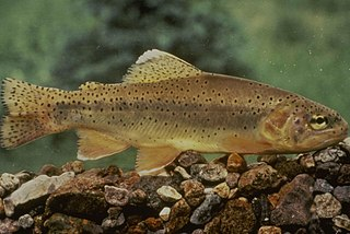 Gila trout Species of fish