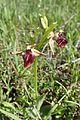 Ophrys mammosa kz11.jpg