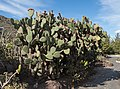 Opuntia streptacantha - Jardín Botánico Canario Viera y Clavijo - Gran Canaria - 01.jpg