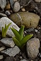 Orange Day-Lily (Hemerocallis fulva) - London, Ontario 2015-04-04.jpg
