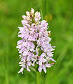 Orchid in Blean Woods.jpg