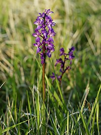 Orchis mascula (plant)