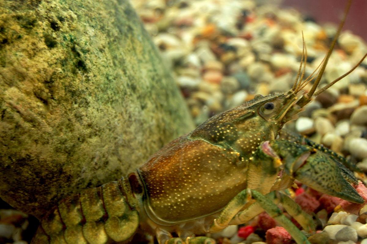 Can Crayfish Eat Dog Food