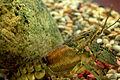 Orconectes rusticus in Aquarium1.jpg