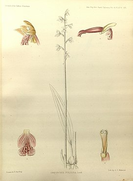 Oreorchis foliosa - The Orchids of the Sikkim-Himalaya pl 137 (1898).jpg