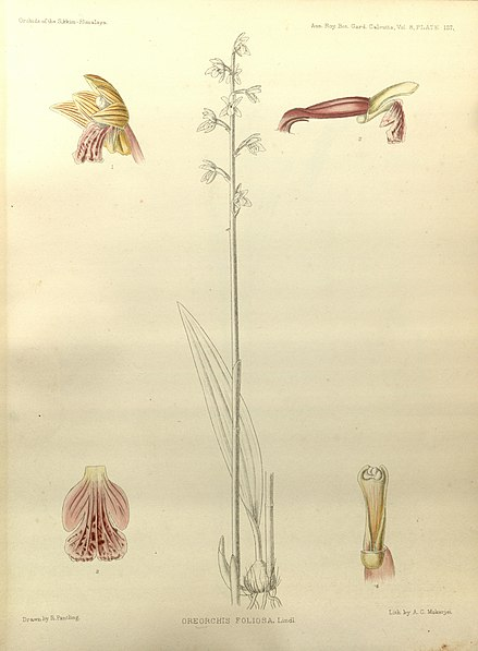 Bestand:Oreorchis foliosa - The Orchids of the Sikkim-Himalaya pl 137 (1898).jpg