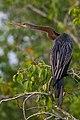 Oriental Darter in Sundarban.jpg