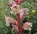 Orobanche alba inflorescence (25).jpg