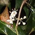 Osmanthus heterophyllus (bud s2).jpg