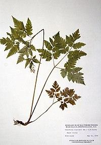 Osmorhiza claytonii BW-1979-0522-0718.jpg