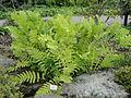 Osmunda claytoniana - Palmengarten Frankfurt - DSC02003.JPG