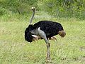 Ostrich (Struthio camelus) male (13994461256).jpg