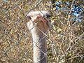 Ostrich 4.jpg