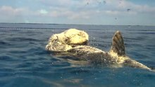 File:Otter playing - 2015 11 08.ogv