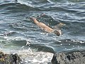 Otters - geograph.org.uk - 550641.jpg
