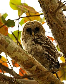 Owl Barred 66.JPG