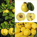 Owoce Pigwa.jpg
