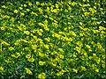 Oxalis-pc-group003.jpg