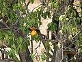 Pássaro Currupião comendo fruta. - panoramio.jpg