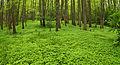 Püsik-seljarohi Muraste looduskaitsealal.jpg