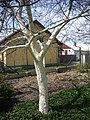 Před jarní bílení kmenů ovocných stromů 04.jpg