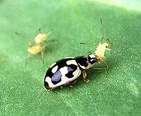 Insecte noir à tâches jaunes soulevant un petit insecte avec sa mâchoire.