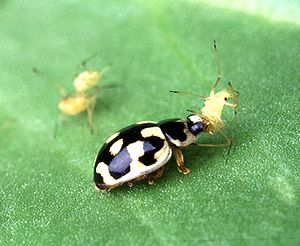 Natural farming - Ladybirds consume aphids and are considered beneficial by natural farmers that apply biological control.