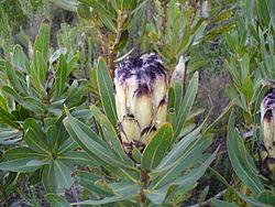 P. lepidocarpodendron.jpg