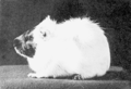 PSM V67 D212 An imperfectly rough coated guinea pig.png