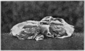 PSM V77 D136 Young cedarbirds ten days after hatching.png